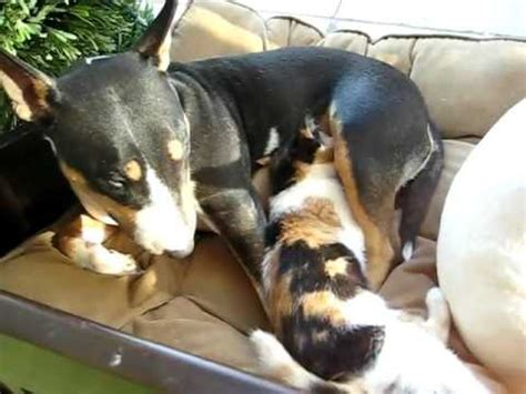 pregnant dog nursing matching kitten youtube