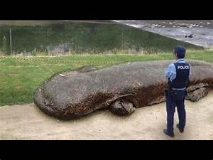 Best 25+ Chinese giant salamander ideas on Pinterest ...