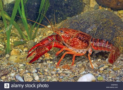 Louisiana Red Crayfish, Red Swamp Crayfish, Louisiana