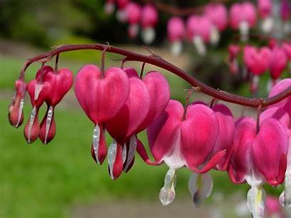 Bleeding Heart Hearts Wallpapers Flowers Flower Quotes