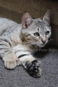pixie bob cat 1000 images about pixie bob cat on baltimore
