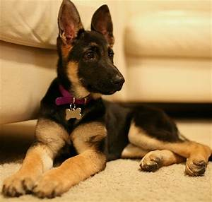 how to choose the proper german shepherd food dogsarenacom With german shepherd dog food