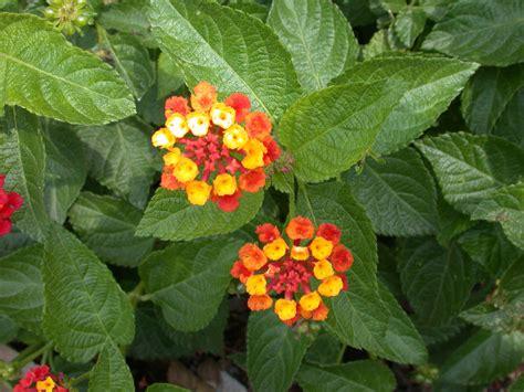 lantana plant flower picture lantana flower
