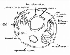 1  Schematic Picture Of Animal Cell Membranes  The Plasma