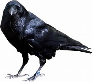Crow PNG images, download pictures