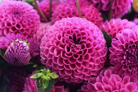 best flower pictures free wallpaper dahlia flower pink dahlia 4k flowers 6333