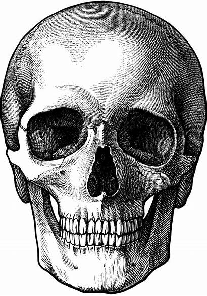 Skull Drawing Drawings Skeleton Human Face Bone