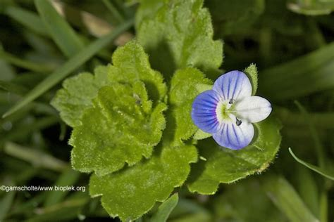 Veronica Arvensis, Veronica Hederifolia