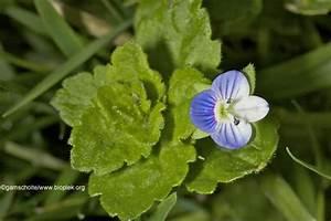 Veronica Arvensis  Veronica Hederifolia