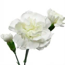 bulk carnations mini carnations white 150 stems sam 39 s club