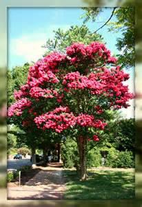 Virginia Crepe Myrtle Tree