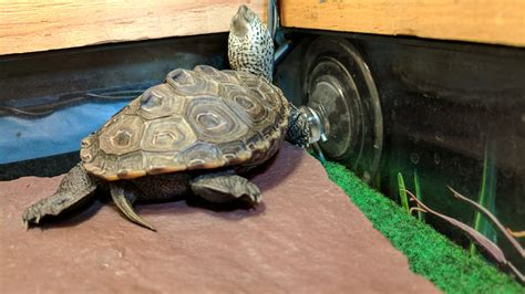 Northern Diamondback Terrapin Baby Basking Log Turtle