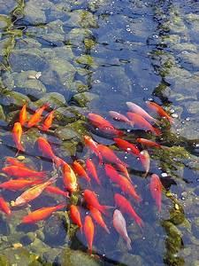 Goldfische Im Teich : goldfisch ~ Eleganceandgraceweddings.com Haus und Dekorationen