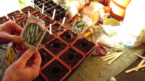 zucchini seed indoors start seeds squash plants