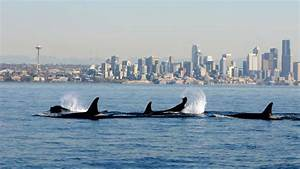 Orca Superpod  U2013 Meet Orca Experts From The Film Blackfish