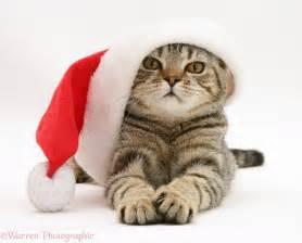 cat santa hat tabby cat wearing a santa hat photo wp17970