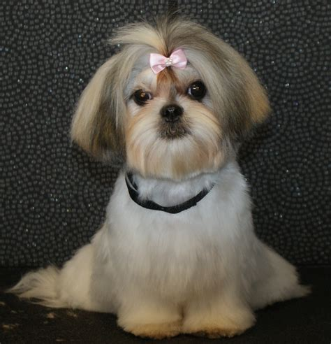 grooming a pekingese haircuts dog breeds picture