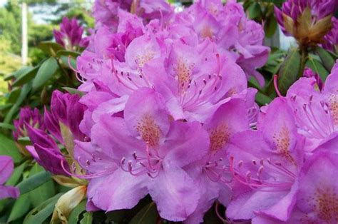 how to plant a rhododendron shrub rhododendrons and azaleas how to plant grow and care for rhododendron and azalea bushes the