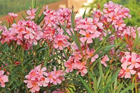 oleander richtig schneiden oleander richtig schneiden garten garten oleander schneiden und garten pflanzen