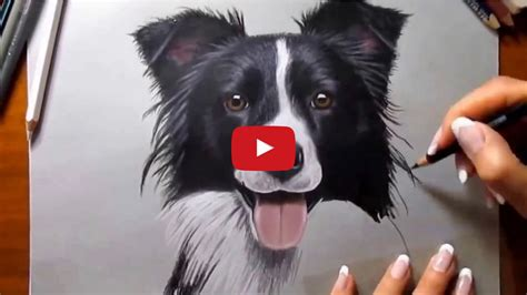 drawing  border collie border collie fan club