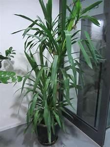 Große Zimmerpflanzen Wenig Licht : zimmerpflanzen kaufen zimmerpflanzen gebraucht ~ Markanthonyermac.com Haus und Dekorationen