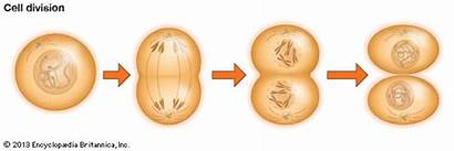 Cell Division Process Cells Becomes Divide B2
