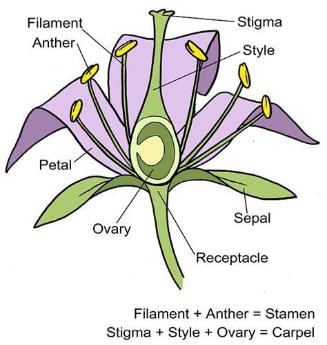 Diagram Of Flower Part flower structure diagram rhs caign for school gardening