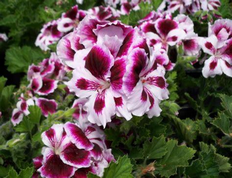 care of pelargoniums image gallery regal geranium
