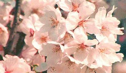 Blossom Cherry Flower Animated Flowers Gifs Blowing