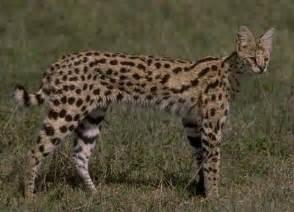 serval cat for serval animal wildlife