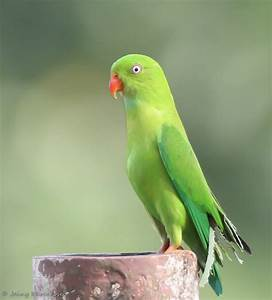 Indian Green Parrot Images