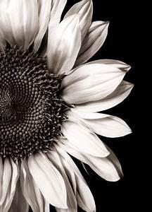 black & white sunflower | Daffodils & Sunflowers & Daisies ...