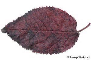 Cherry Plum Tree with Purple Leaves
