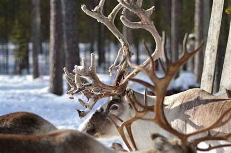 reindeer antler reindeer antlers hd wallpaper animals wallpapers