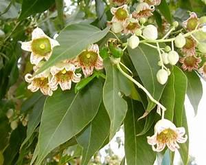 Sample Doctor Note Gardensonline Brachychiton Populneus Kurrajong Tree