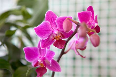 how to get an orchid plant to bloom again how to get an orchid to flower again