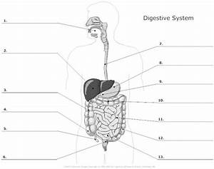 The Human Alimentary Canal  Grade 9 Understanding For