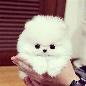 teacup pomeranian | Too Cute | Pinterest