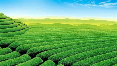 Tea Plants Landscape Pemandangan Tumbuhan Pertanian Teh