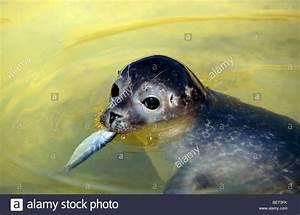 Harbor seal / Common seal (Phoca vitulina) juvenile eating ...