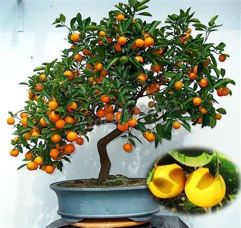 Olio Per Lade by Arboles Arbolitos Naranjos Naranjas Frutal Bonsai Semillas
