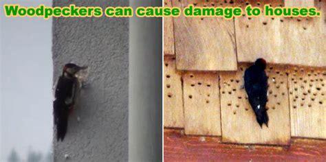 kill woodpeckers  poison   methods
