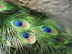 wallpapers: Peacock Feathers Wallpapers
