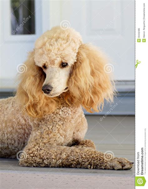 standard poodle apricot royalty  stock photo image