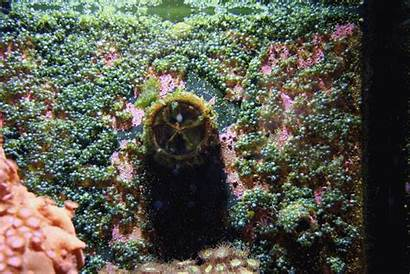 Algae Bubble Reef Flux Killing Saltwater Reef2reef