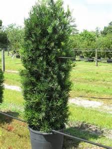 Yew Tree Topiary