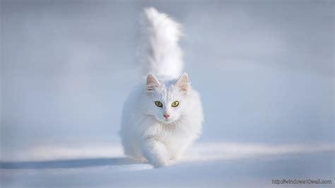 animals hdwallpaper cute white cat hd wallpaper windows