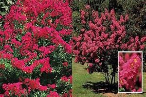 Arbre Ombre Croissance Rapide : arbustes persistants croissance rapide inspirations avec ~ Premium-room.com Idées de Décoration