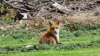 Fox Sitting Animal Nature Animals Desktop Backgrounds