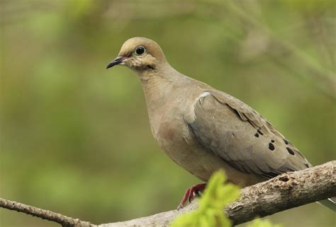 simple ways to attract mourning doves blain s farm